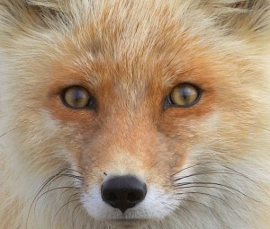 Image of a Red Fox's eyes, showing vertical pupils.