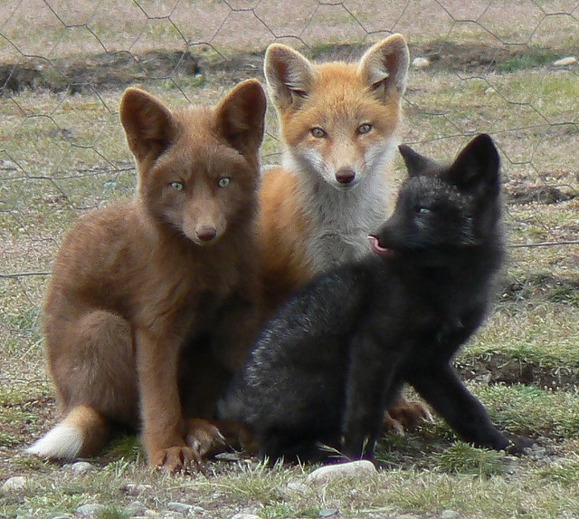 Three small Red Fox kits huddled together on grassy ground, facing the camera. One is brown, one is red and one is black.
