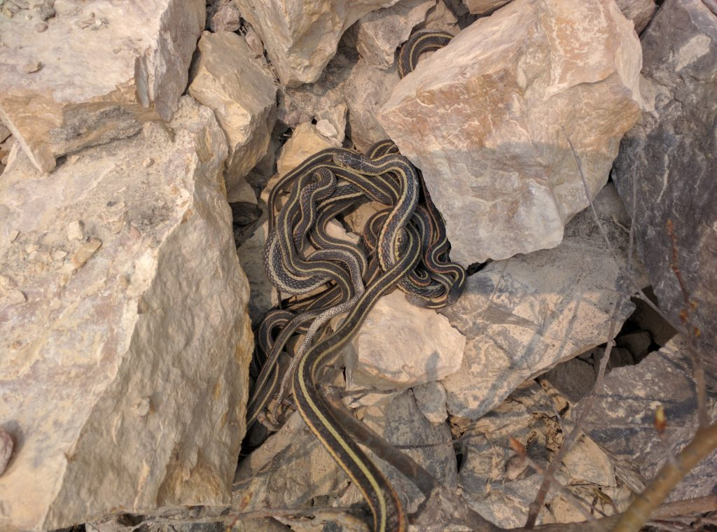 A mass of Red-sided Garter Snakes, Thamnophis sirtalis infernalis, laying on a pile of large stones.