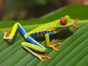 A colorful Red-eyed Tree Frog, Agalychnis callidryas, which has orange toes, sitting on a green leaf.