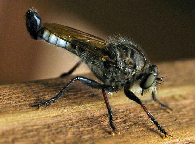 Close up image of robber fly, . Robber flies feed on insects.
