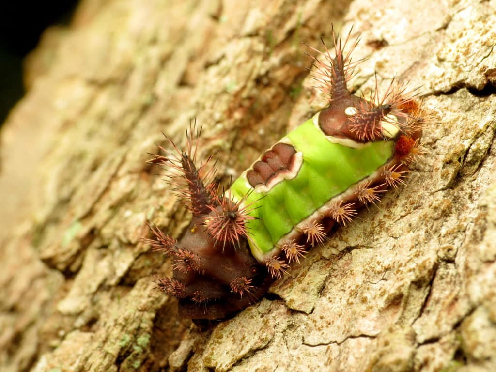 Saddleback Caterpillar, Acharia stimulea, showing the sharp, toxic spines that are painful when touched.