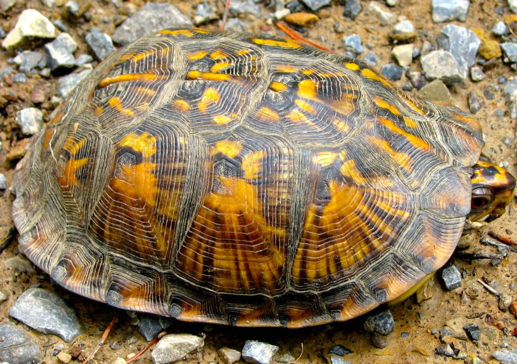 The top scutes of an Eastern Box Turtle's carapace.