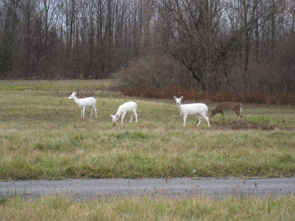 Three white-colored White-tailed Deer standing in grassland at Seneca Army Depot, NY.