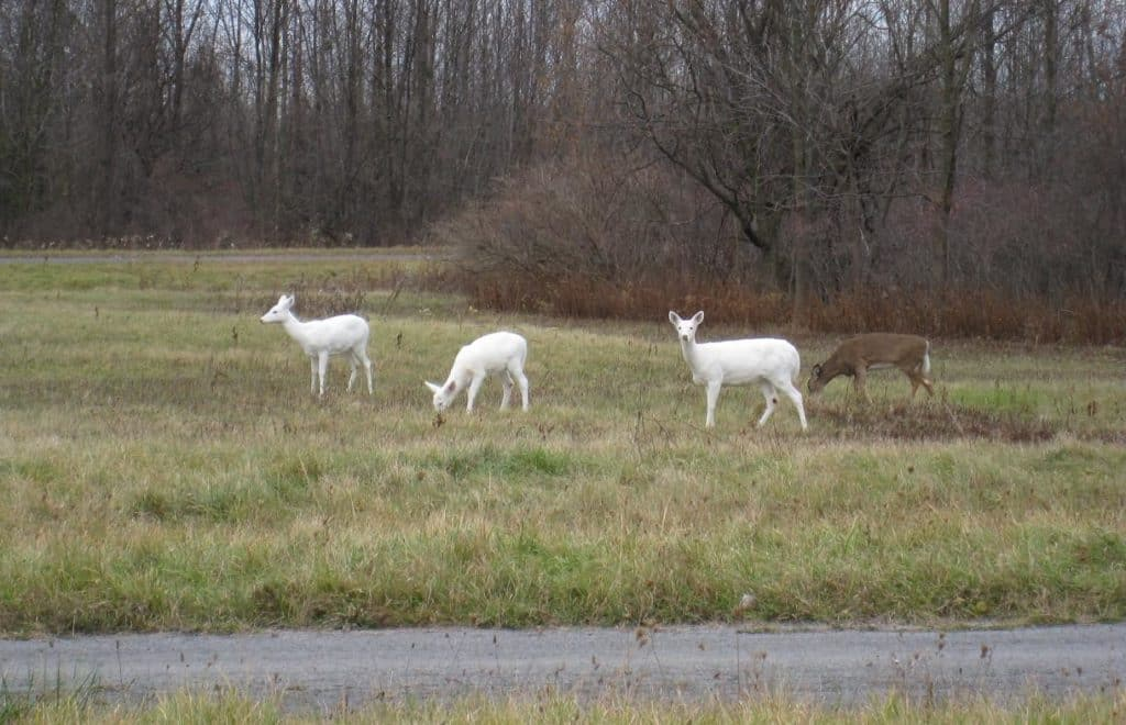 Image of three all-white White-tailed Deer standing in grassland at Seneca Army Depot, along with one Whitetail of typical brownish coloration.