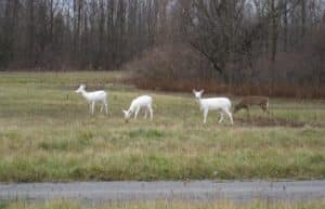Three White-tailed Deer with white hair standing in grassland at Seneca Army Depot, NY.