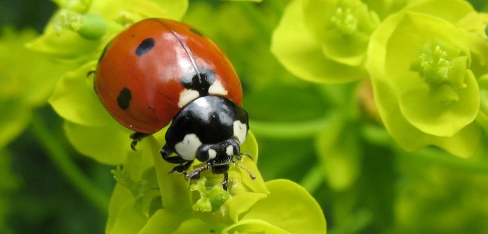 Seven-spotted Lady Beetle, Coccinella septempunctata