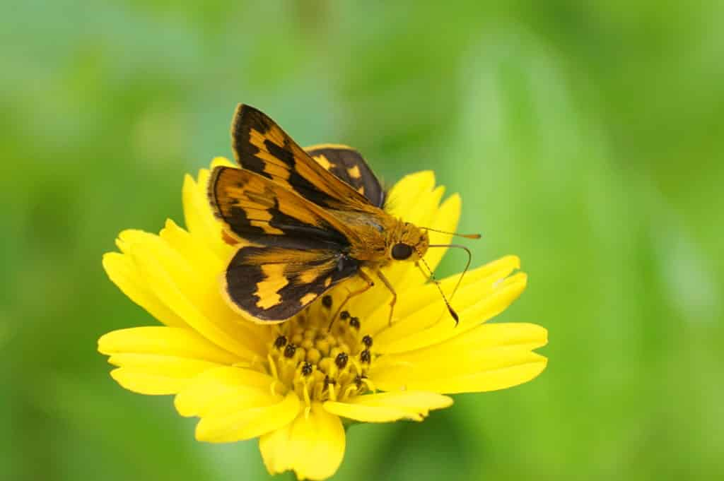 Skipper butterfly, Potanthus pava, with forewings held upright and hind wings horizontal.