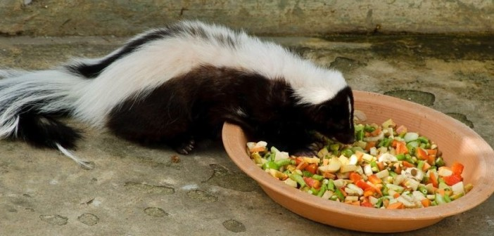 Striped Skunk eating a mixture of diced vegetables from a flowerpot saucer.