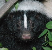 Close up of the face of a Striped Skunk.