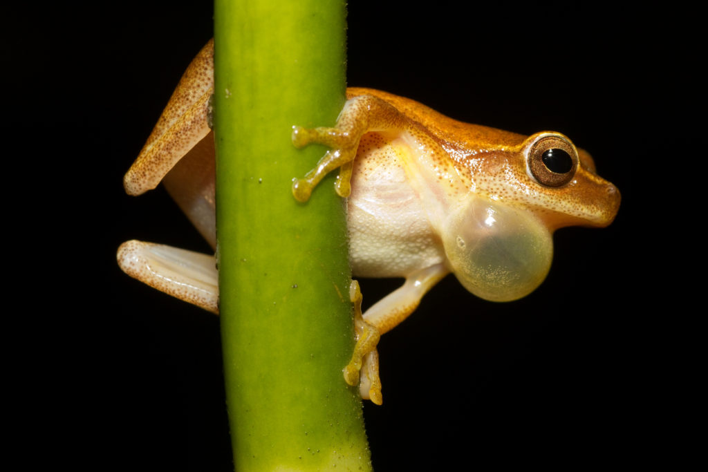 Small-headed Tree Frog, Dendropsophus microcephalus, male, with inflated vocal sac while clinging to a vertical plant stem.