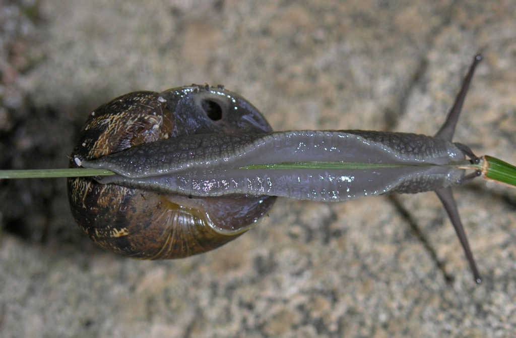 Underside of Cornu aspersum snail climbing a very thin blade of grass, with breathing hole visible.