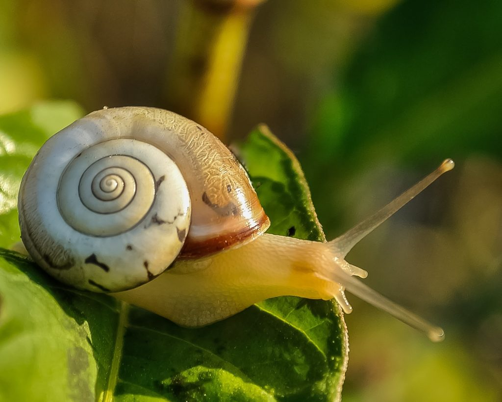 Light brown snail with yellowish body sitting on a green leaf.
