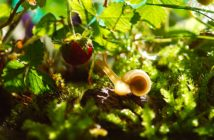 Yellowish snail on a ground reaching up to get a ripe strawberry.