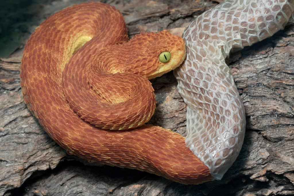 Orange colored snake shedding its skin, which is a transparent gray.