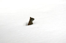 Squirrel popping its head and upper body out of deep snow and there are no footprints around it.