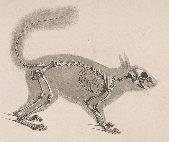 Male squirrel anatomy