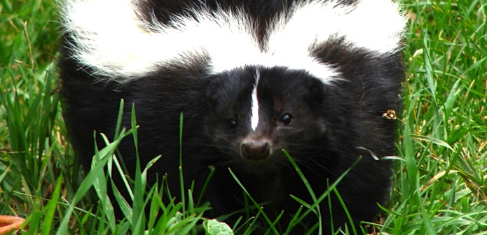 All about the striped skunk welcome wildlife all about the striped skunk sciox Images