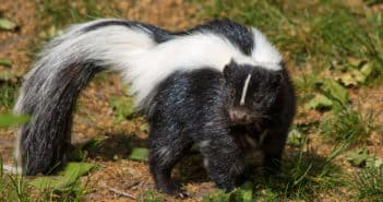 Striped Skunk standing on ground with sparse vegetation.