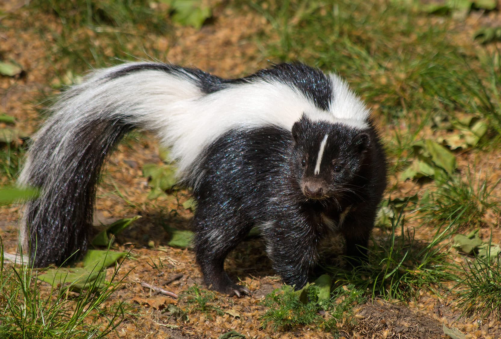 Who is the skunk, where does it live, its features