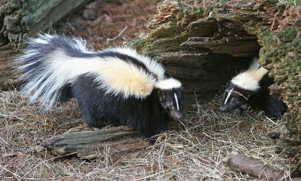 Two Striped Skunks standing together.