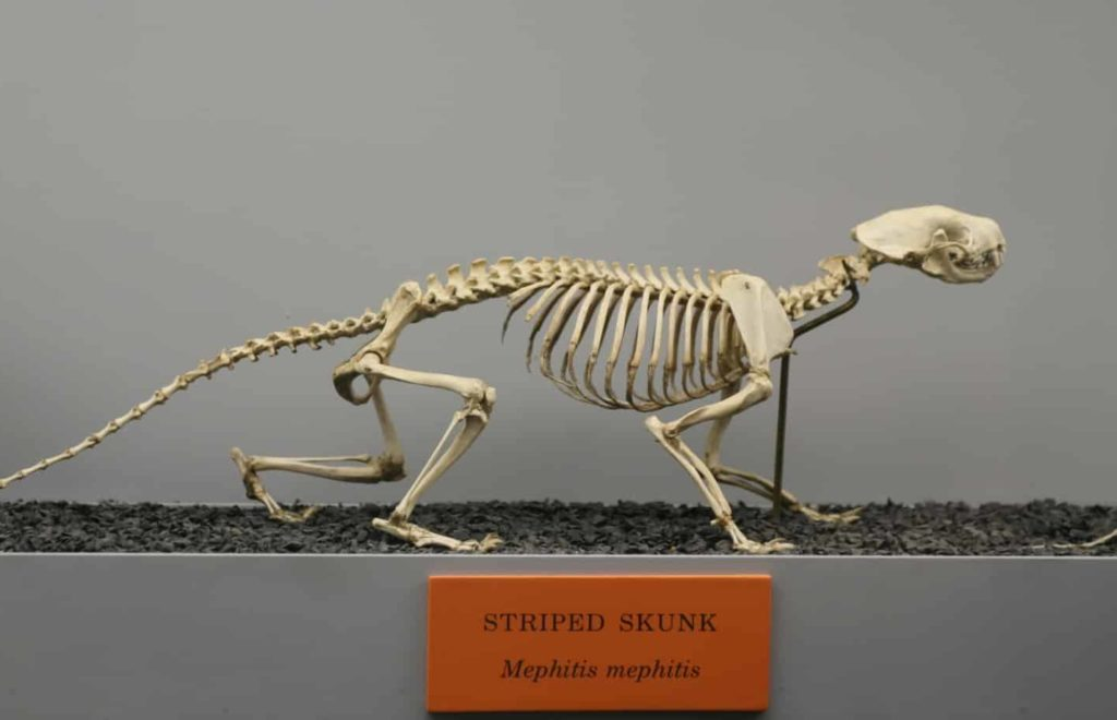 Skeleton of a Striped Skunk on display in a museum.