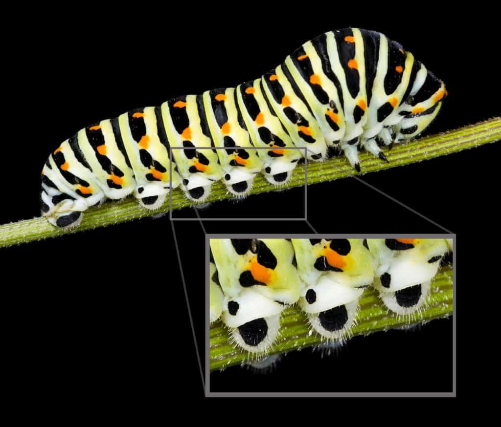 Swallowtail larva, Papilio machaon, showing close detail of prolegs.
