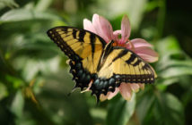 Tiger Swallowtail, Papilio glaucus, with wings open, sitting on pink blossom.
