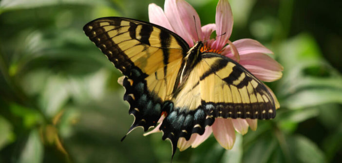 America's favorite butterflies: big, bold, beautiful