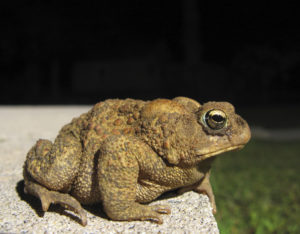 Side view of a toad facing to the right.
