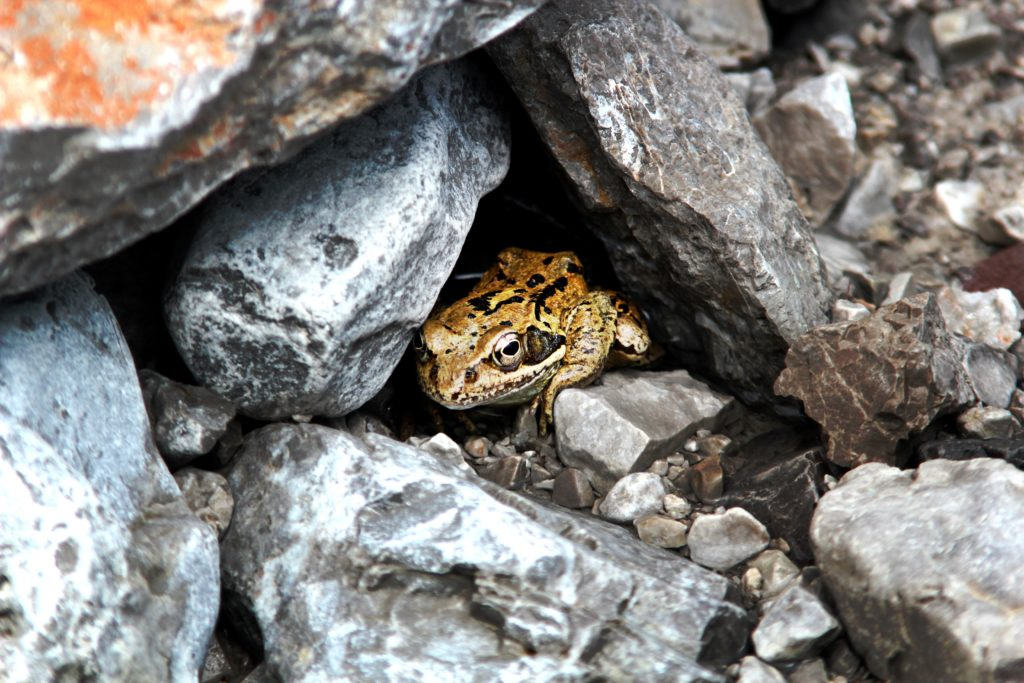 Toad sitting at entrance of opening into several large stones arranged to create a hole within.