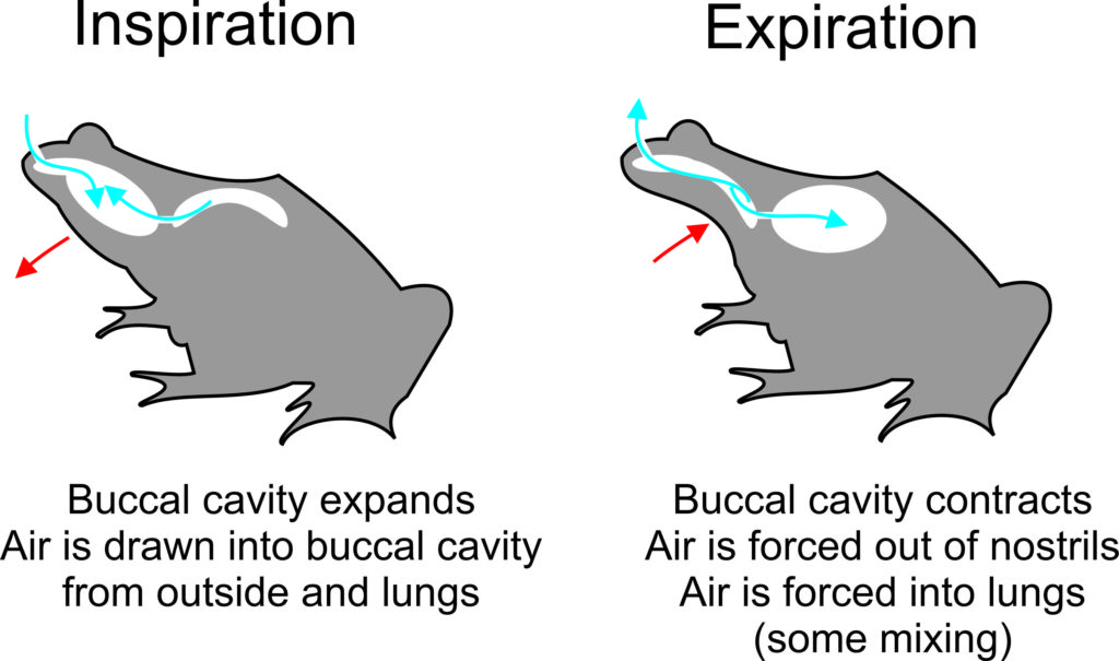 Illustration of a frog demonstrating how buccal pumping works.