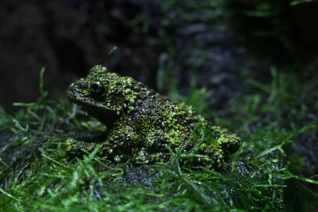 Vietnamese Mossy Frog, Theloderma corticale, looking much like it's covered by moss.