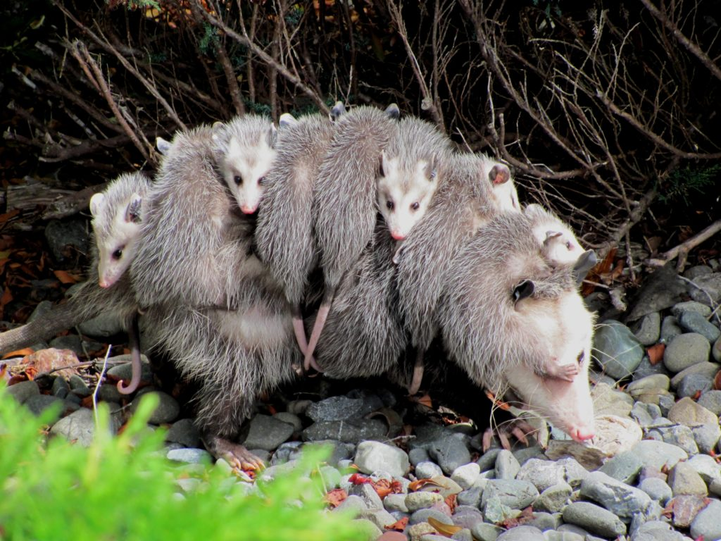 Virginia Opossum, Didelphis virginiana, with numerous youngsters clinging to her back.