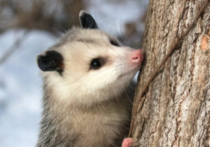 Virginia opossum, Didelphis virginiana, clinging to a tree trunk.