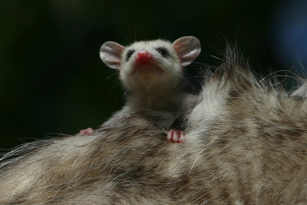 Opossum baby clinging to its mother's back.
