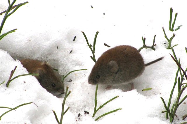 Two Field Voles at the entrance to a tunnel in the snow