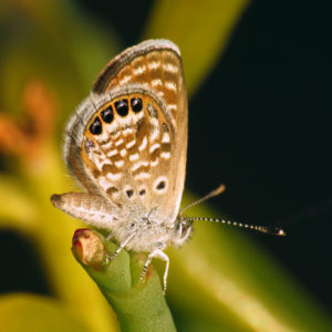 Western Pygmy Blue Butterfly, Brephidium exilis, world's smallest butterfly