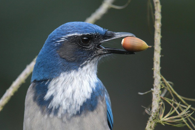 Western Scrub Jay, Coloeus monedula, looking to its left and holding an acorn in its beak.