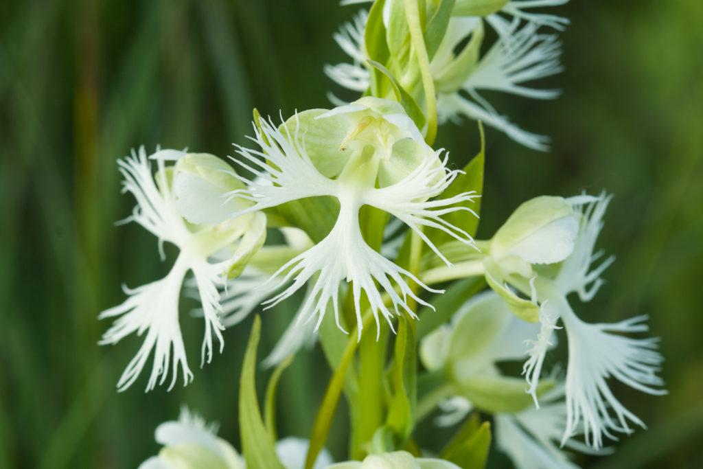 White Prairie Fringed Orchid, Platanthera praeclara, endangered.