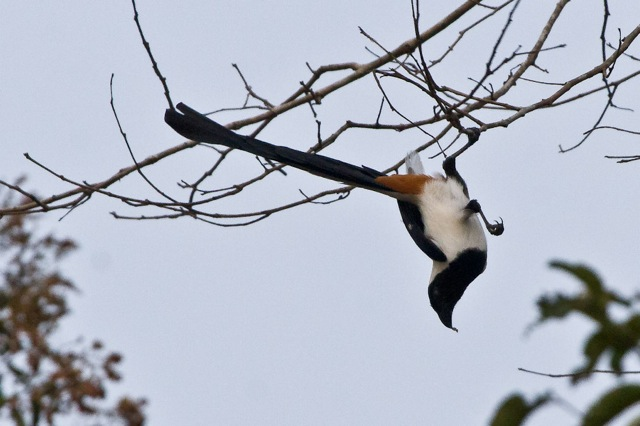 White-bellied Treepie (Dendrocitta leucogastra) hanging upside-down from a tree limb.