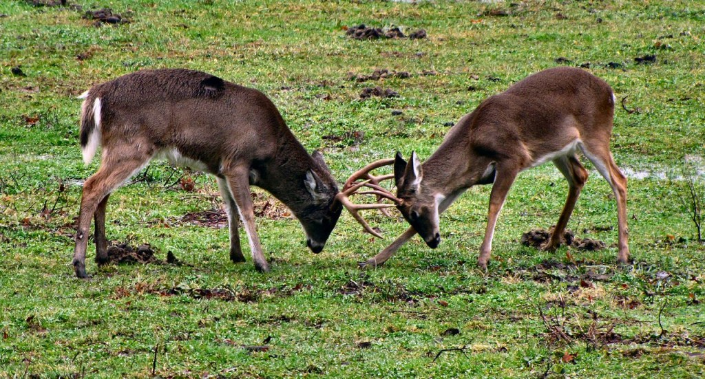 Whited-tailed bucks sparring. (Brian Sstansberry / Wiki ;cc by 3.0)