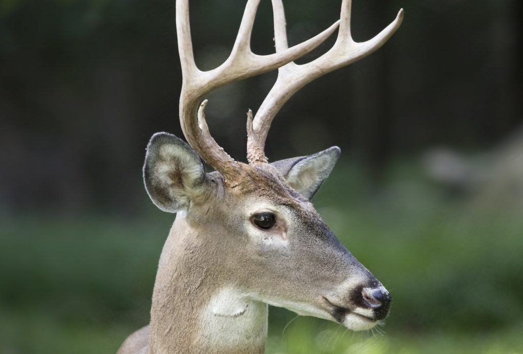 Close up image of a deer and his antlers.