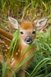 Close up of the face of a White-tailed Deer fawn.