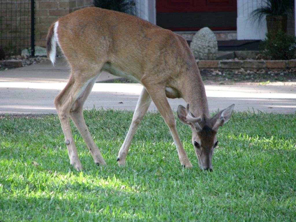 Image of a White-tailed Deer grazing on grass in a city yard.