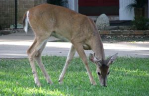 White-tailed Deer grazing on grass in a city yard, with a house in the background.