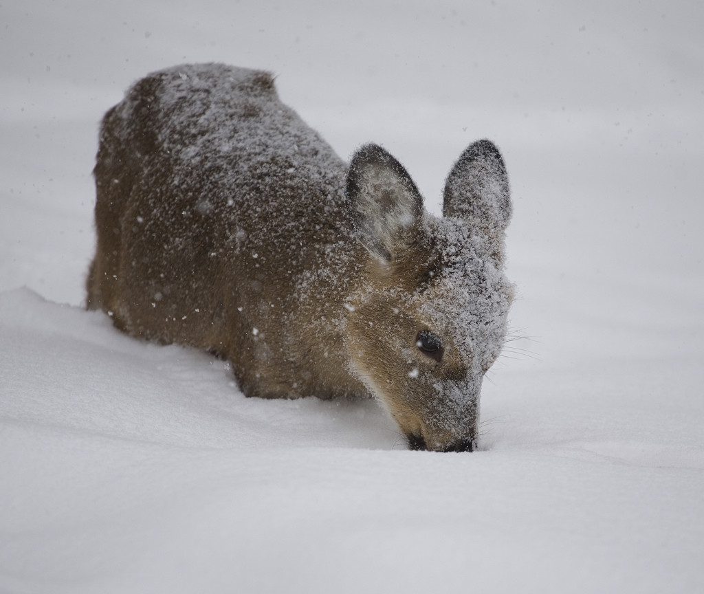 Image of a White-tailed Deer standing in snow and having a thick coat of hair.