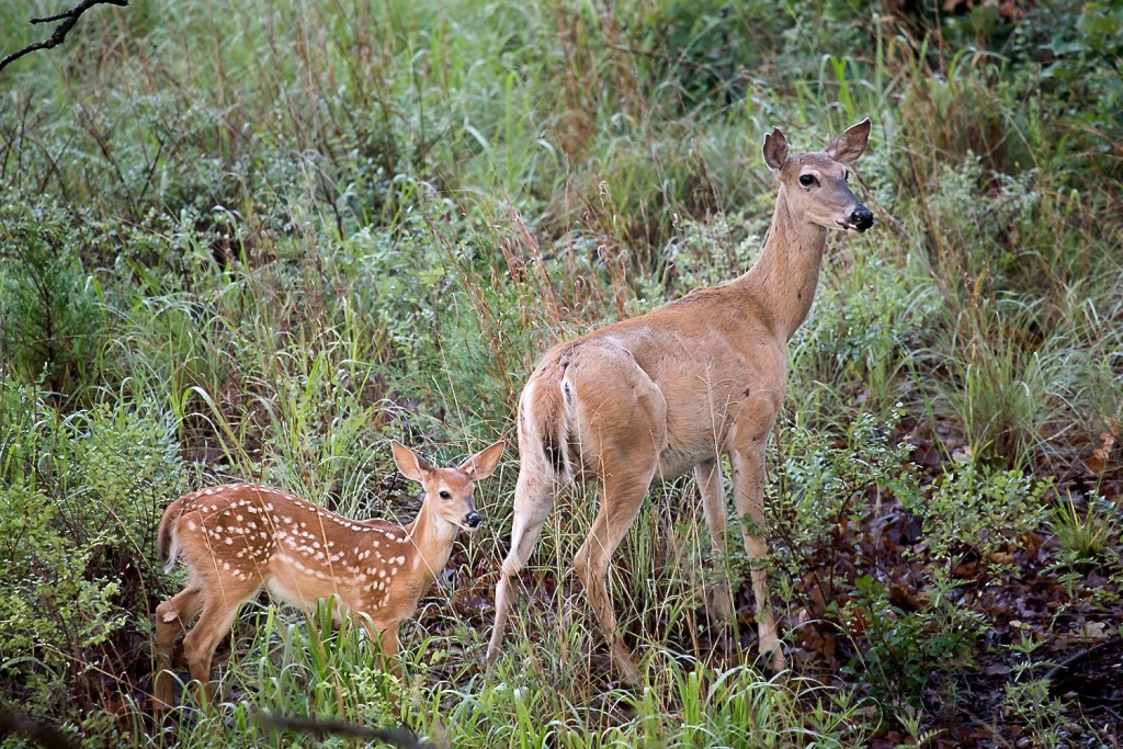 Image of a White-tailed doe and fawn.