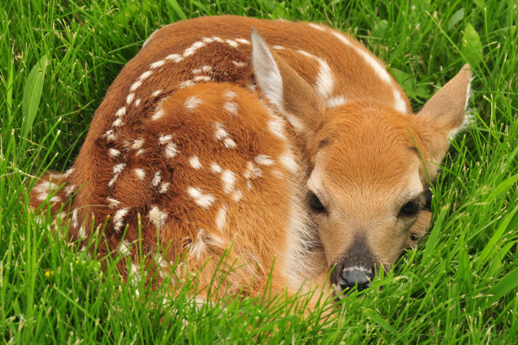 Image of young White-tailed Deer fawn curled up in grass.