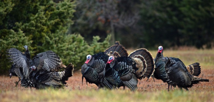 Talking turkey: much more than a holiday centerpiece